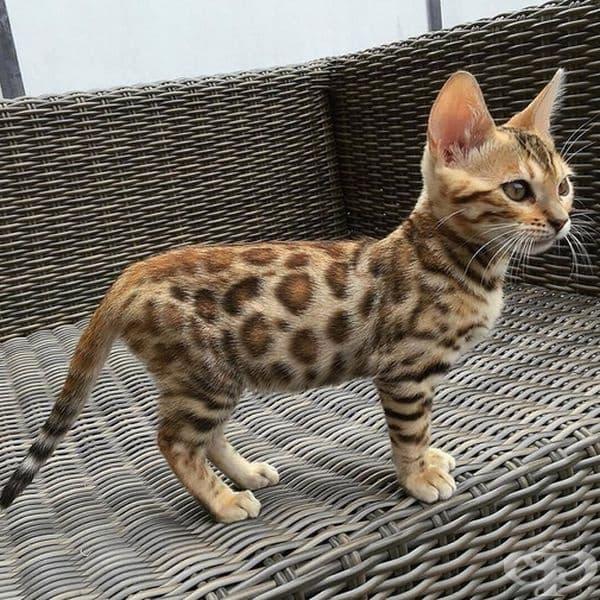 Дали ще стане леопард като порасне?