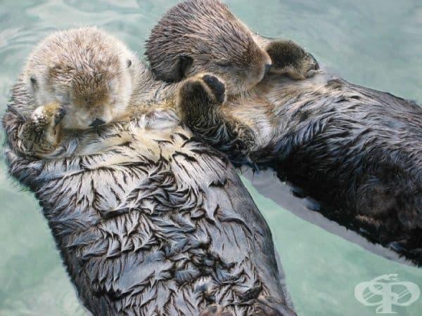 Морските видри се държат за ръце, докато спят, за да предотвратят отнасянето на някоя от тях по течението.