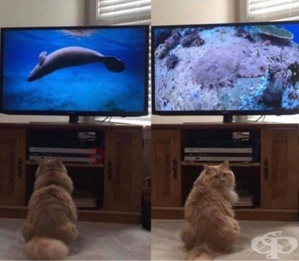 Моята котка обожава да гледа документални филми за дивата природа. Тя всеки път се обръща, за да провери, дали и аз ги наблюдавам.