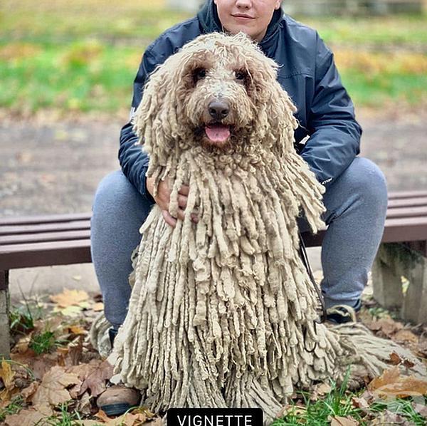 Запознайте се с Ханга - кучето с огромна козина и хиляди последователи в мрежата.