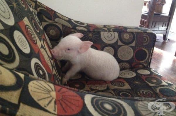 През 2012 г. канадците Стив Дженкинс и Дерек Уолтър си купуват мини прасе и кръщават Естер.