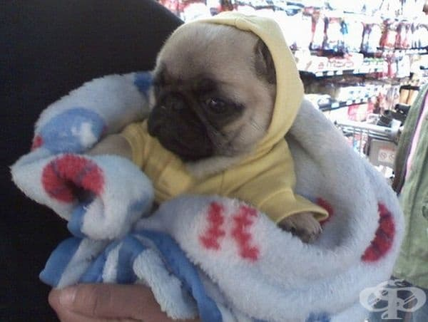 Бебе мопс в одеялце. Мила картинка.
