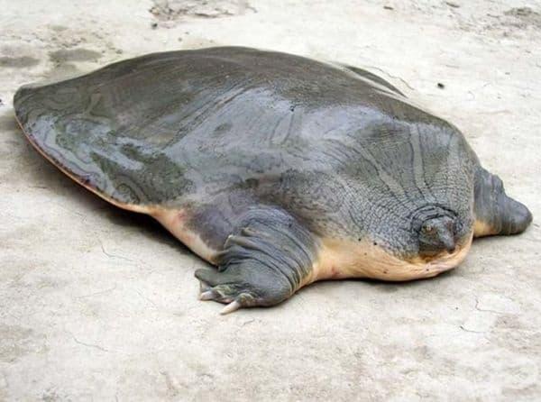 Гигантска мека костенурка Pelochelys cantorii.