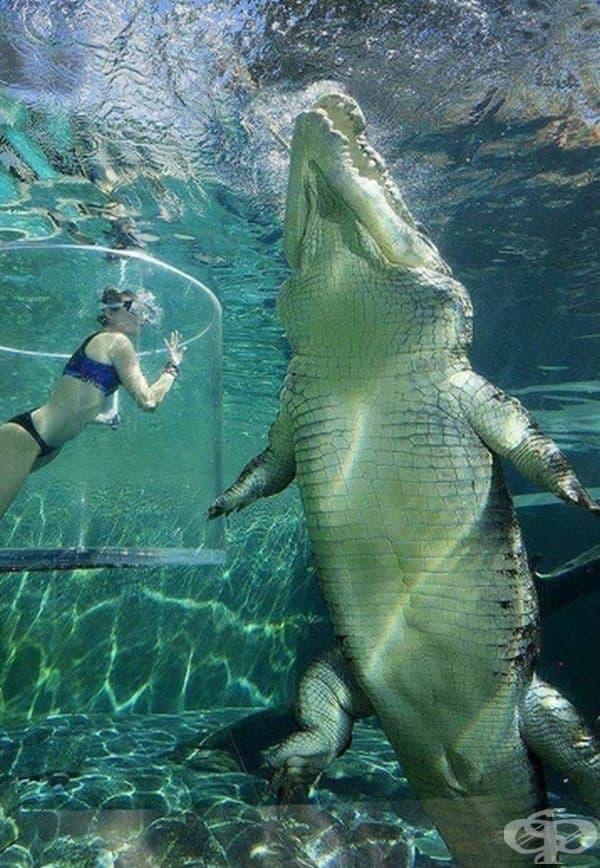 Огромен крокодил в морска вода.