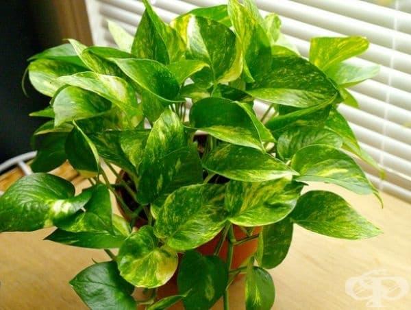 Златен епипремнум. Това растение създава положителен поток на енергия в дома. Добре е да се постави в ъгъл на стаята, за да намали стреса, безпокойството и негативните мисли.