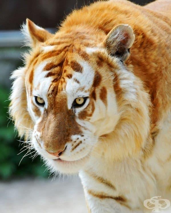 Този много рядък златен тигър е един от 30-те, които съществуват в целия свят.