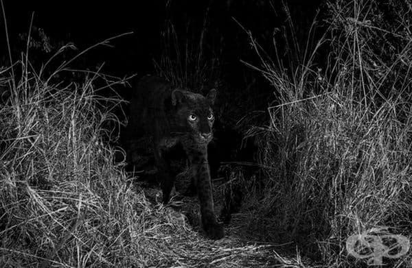 """""""Това са първите снимки от 1909 г. на черен леопард в Африка"""", съобщава ученият от Сан Диего Ник Пилфолд."""