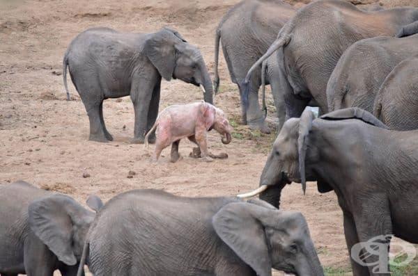 Бебето албинос се откроява на фона на всички останали слонове. Розовата му кожа донякъде го поставя в по-голяма опасност от хищници. Отделно тя е много по-чувствителна на силната слънчева светлина, което също допринася за неудобството на малкото слонче.