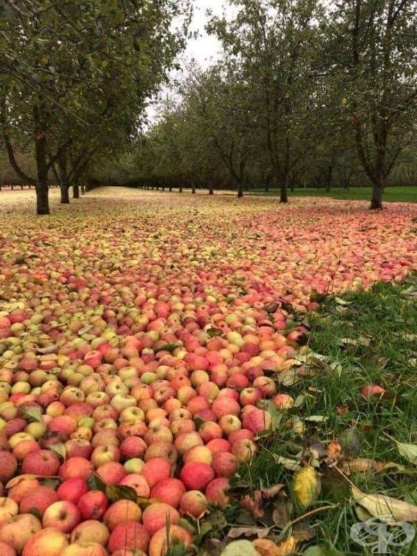 Ябълкова овощна градина в Ирландия след урагана Офелия.