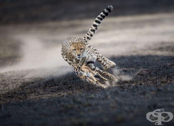 Гепард, преследващ бебе газела. Това е било само игра и гепардът е оставил бебето да си отиде.