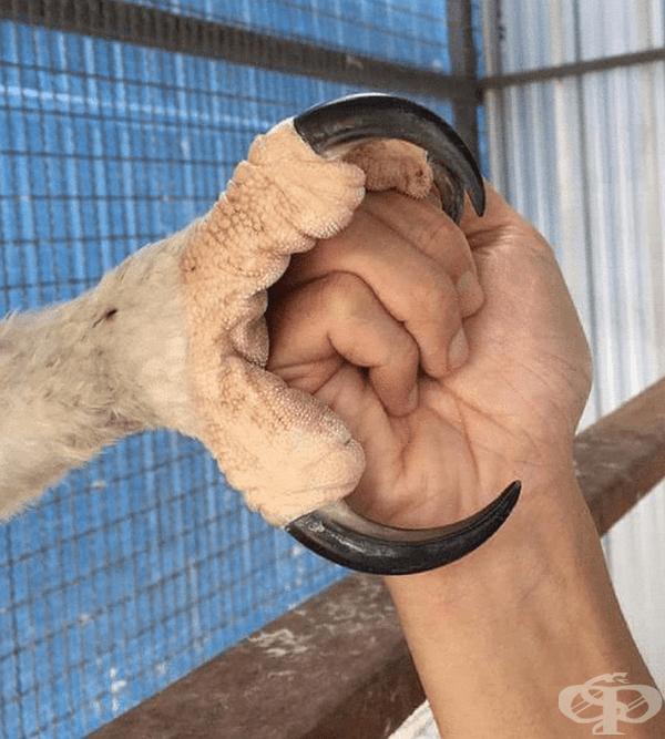 Нокът на непълнолетен Коронован ястребов орел.