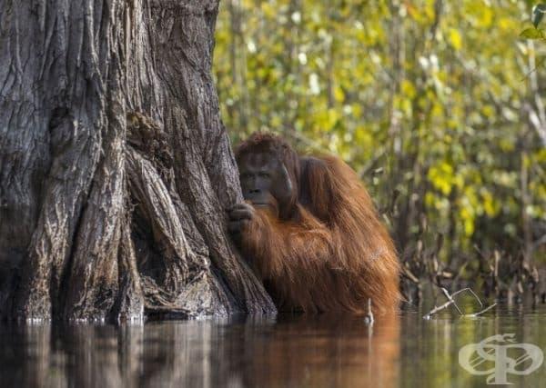 Орангутан се крие зад дърво, докато пресича река Борнео, която е пълна с крокодили.