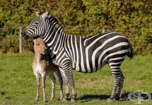 Оказало се е, че това е малкото бебе на зебрата Зиги и магарето Рег.