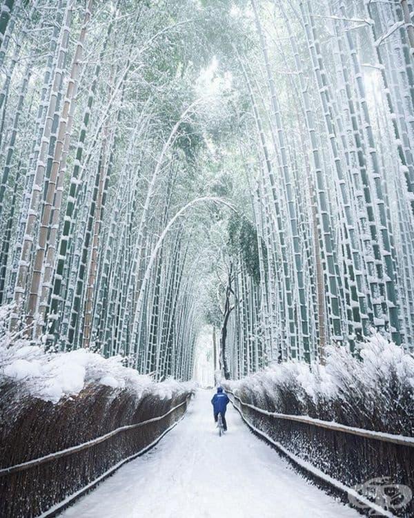 Бамбукови дървета през зимата. Киото, Япония.