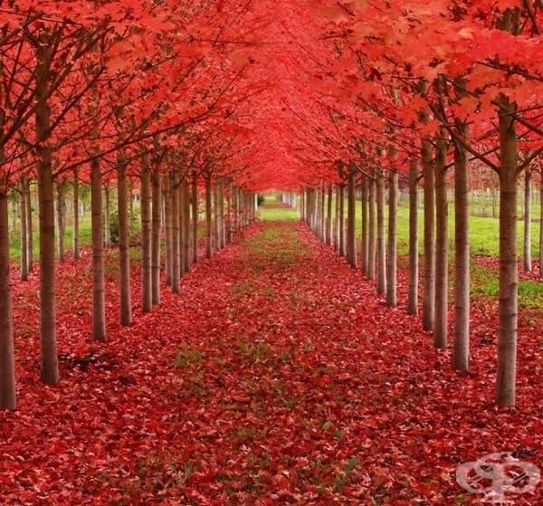 Тунел, образуван от кленови дървета, Орегон, САЩ.