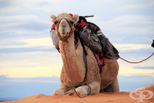 Саудитска Арабия внася камили от Австралия.