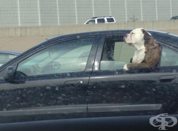 Никой не е толкова готин, колкото това куче на задната седалка на колата.