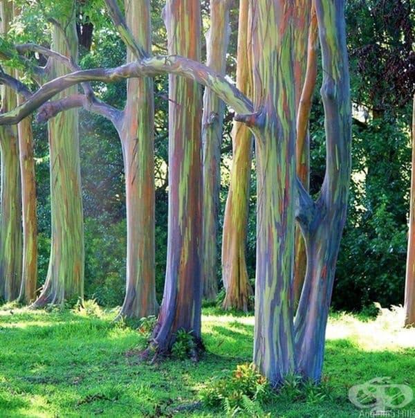 Разноцветни евкалиптови дървета на остров Мауи.