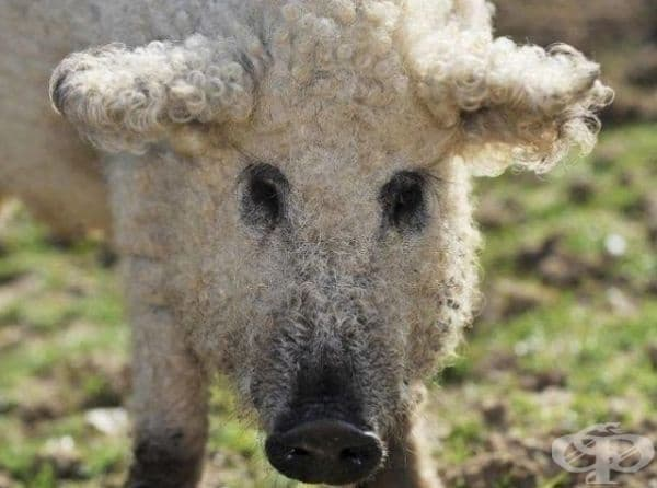 Унгарско прасе с къдрава козина.