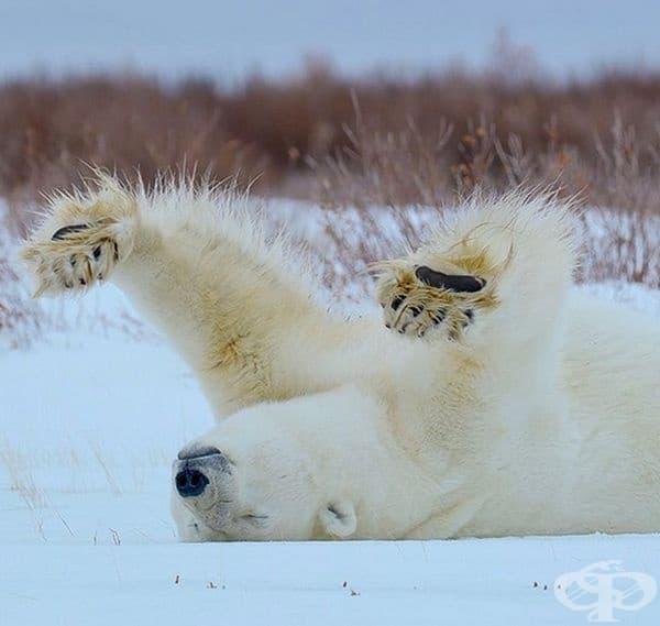 Благодарение на пропускливата си козина и черна кожа, белите мечки абсорбират слънчевата светлина с цялото си тяло, което им помага да се изсушат по-бързо и да се затоплят по-добре.