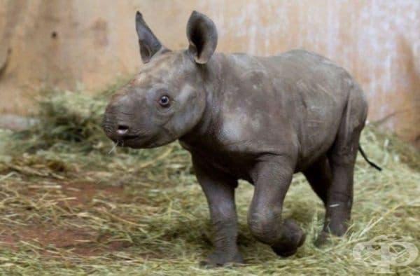 Черен носорог се ражда за първи път от 18 години в зоологическата градина на Цюрих. Това е изключително рядък вид.
