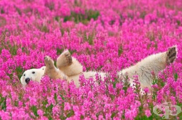 Полярна мечка си играе в полето.