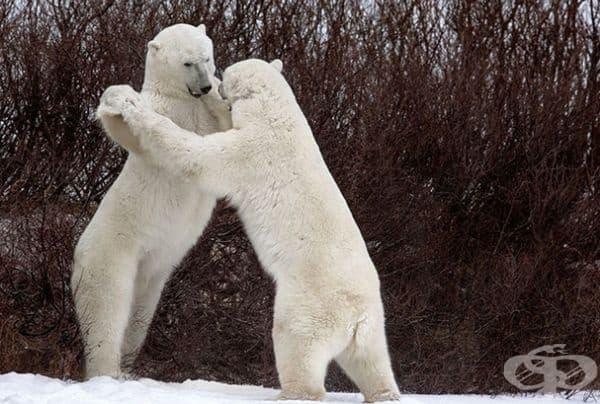 Борбата между белите мечки изглежда като виенски валс.
