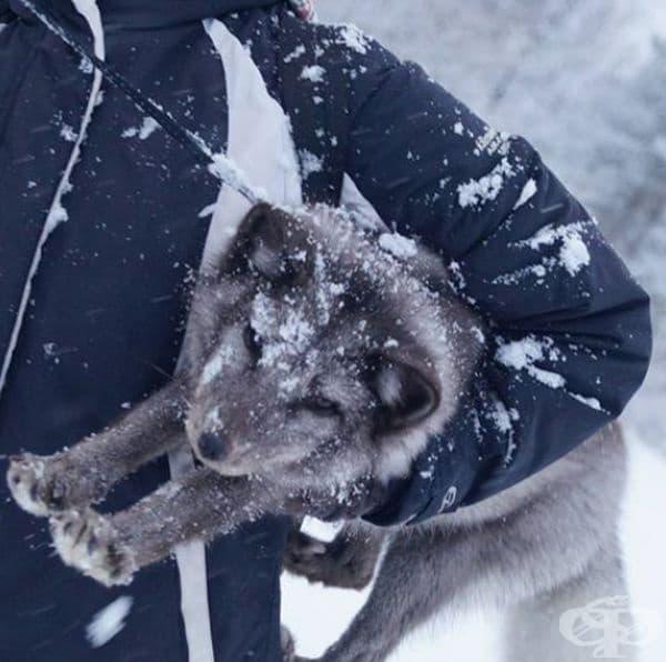 Обожават да се гмуркат в снега с главата напред.