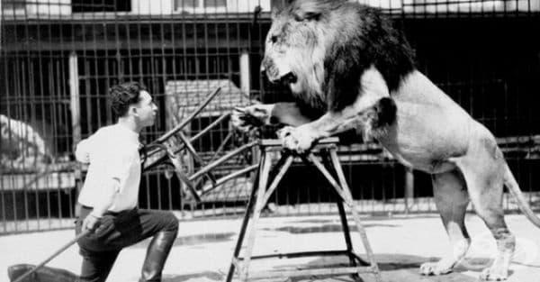 Звероукротителите използват столове, защото лъвовете могат да се съсредоточат само върху един обект за нападение. Когато видят четирите дървени крака, изтласкани към тях, те започват да се объркват и отстъпват.