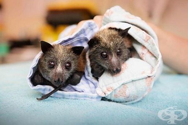 Над 600 прилепа бяха евакуирани в болницата за диви животни в Австралия и получиха втори шанс за живот.