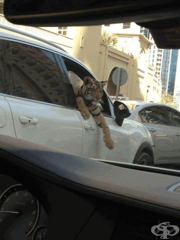... или тигри.
