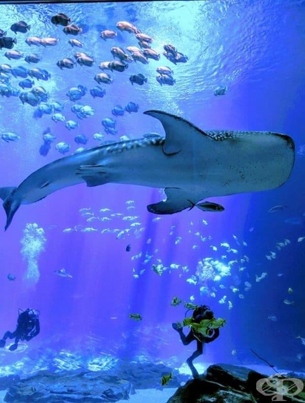 Китова акула и водолази