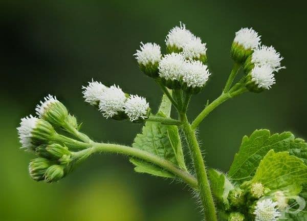 Агератина алтисима. Растението съдържа трематол, който е отровен и може да бъде предаден на хората чрез животински продукти. Симптомите на отравяне включват загуба на апетит, гадене, стомашен дискомфорт, кървене и дори смърт.