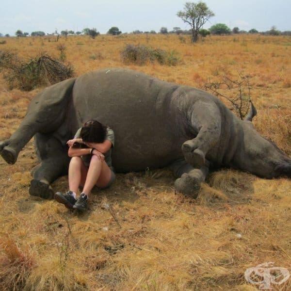 Служител в природен резерват, разположен в непосредствена близост до носорог, който става жертва на бракониери.