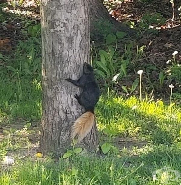 Черна катерица с рижава опашка.