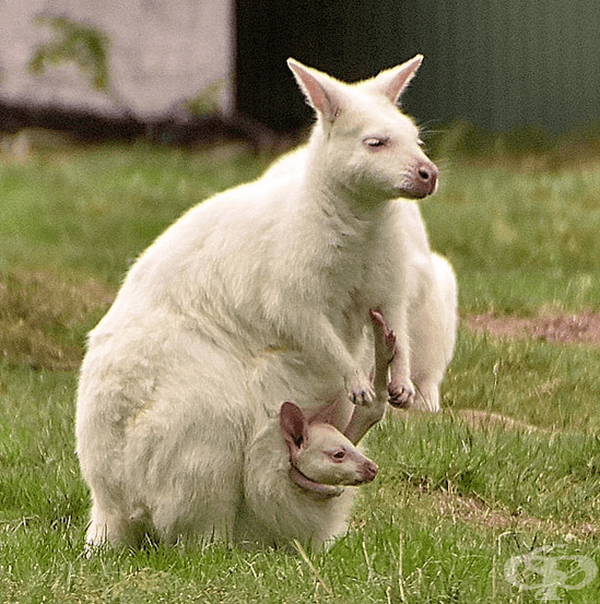 Кенгуру и бебе кенгуру