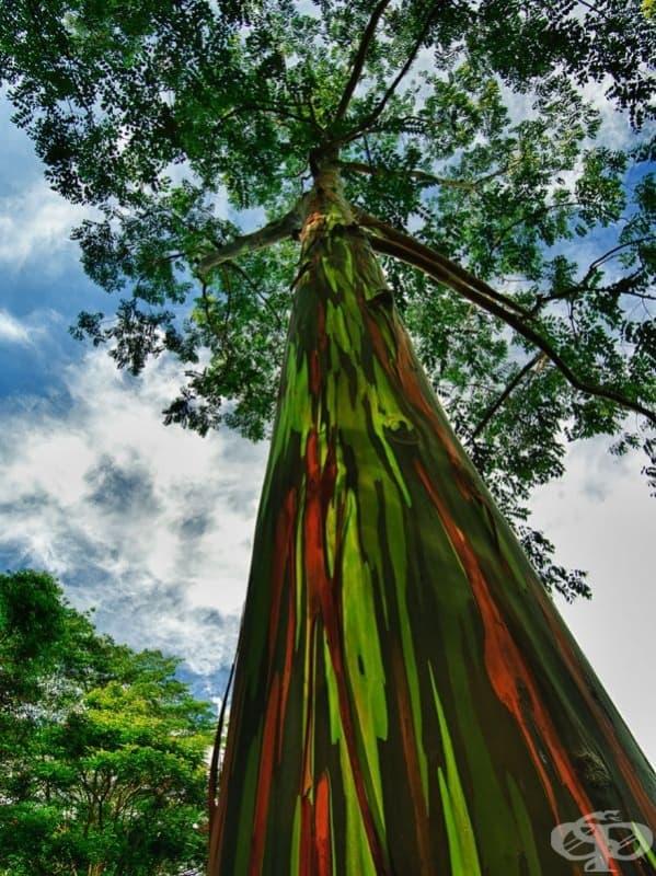Евкалипт със ствол в цветовете на дъгата, Хавай.