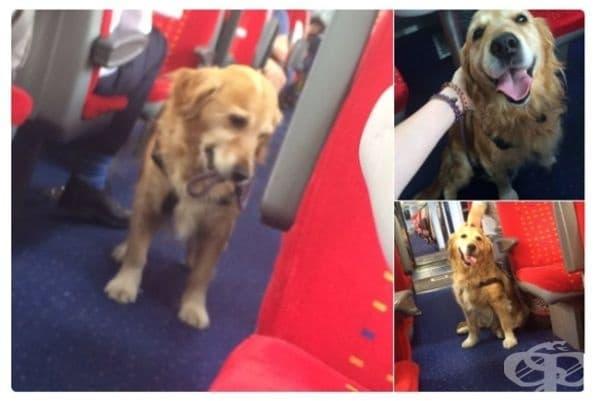 Това куче се разхожда напред-назад из влака, за да може всеки да го погали.