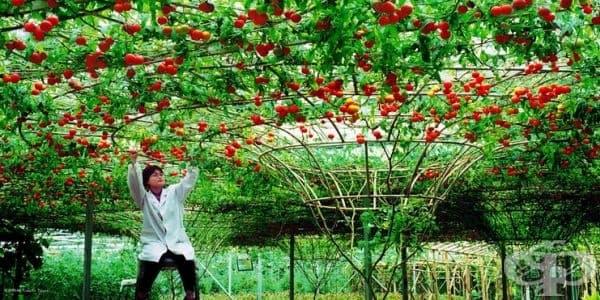 Може да отгледате дърво - домат и в обикновена почва, но резултатите като растеж и реколта ще са оскъдни.