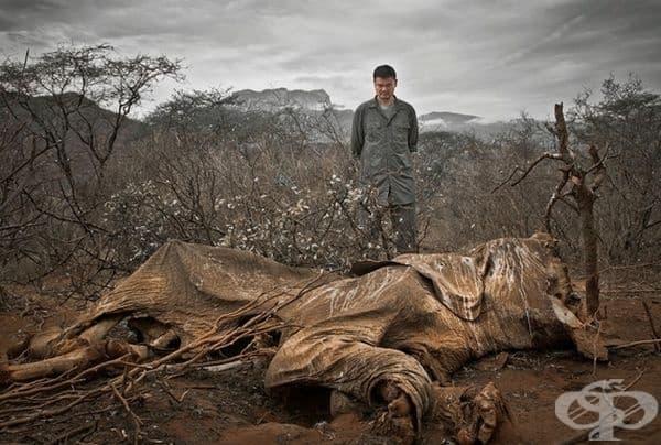 Слон, убит от бракониери.