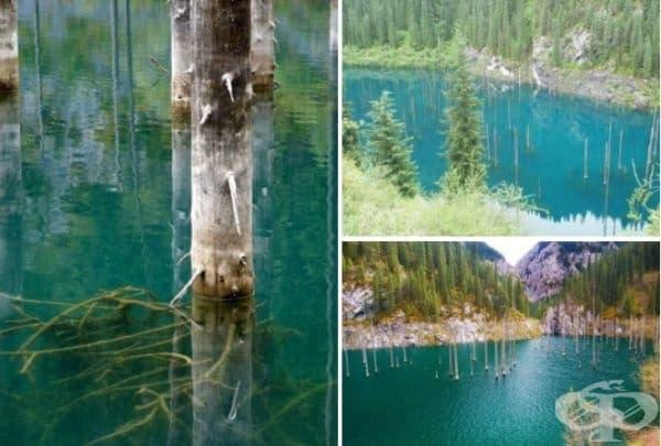 Чудо на природата: Иглолистна гора се крие в езеро Каинди