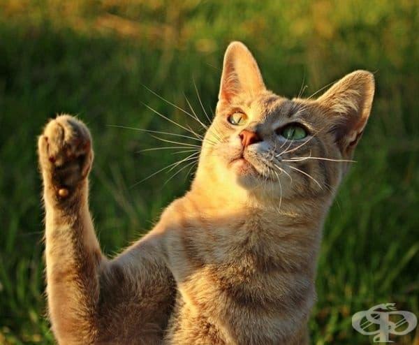 Женските котки обикновено са десничари, а мъжките левичари (т.е. използват дясна или лява лапа).