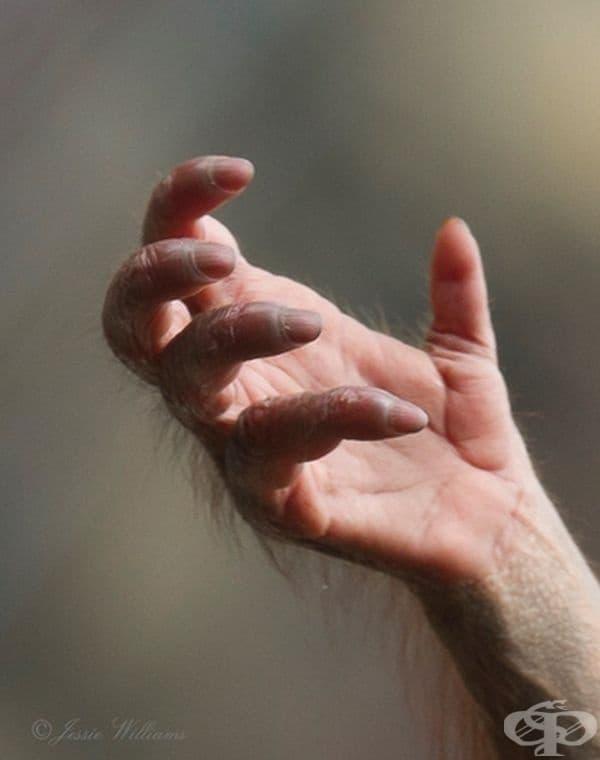 Това е ръка на бебе орангутан.