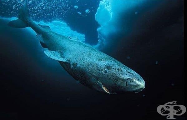 Гренландкса акула – едни от най-старите гръбначни животни, които обикалят Земята. Те достигат полова зрялост едва на възраст около 150 години и обикновено живеят до 400 години.