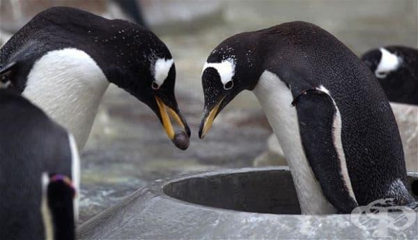 """Освен че са верни до живот, пингвините прекарват много време в търсене на перфектното камъче, което да подарят на своята избраница, за да й """"предложат""""."""
