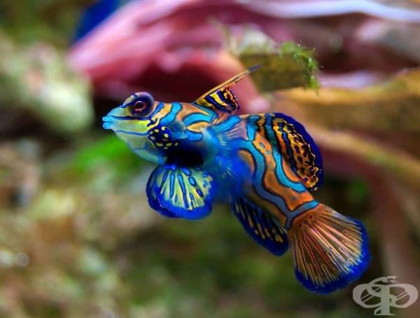 Риба мандарин.