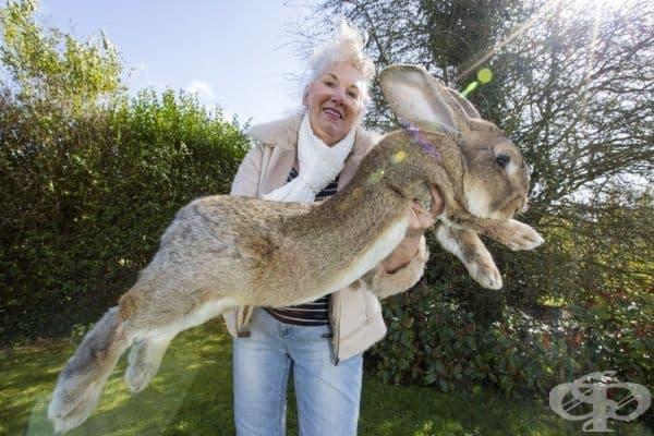 Дарий - най-големият заек в света.
