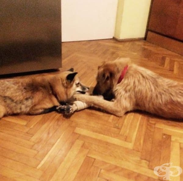 Съжителството между лисица и куче не е лоша комбинация.