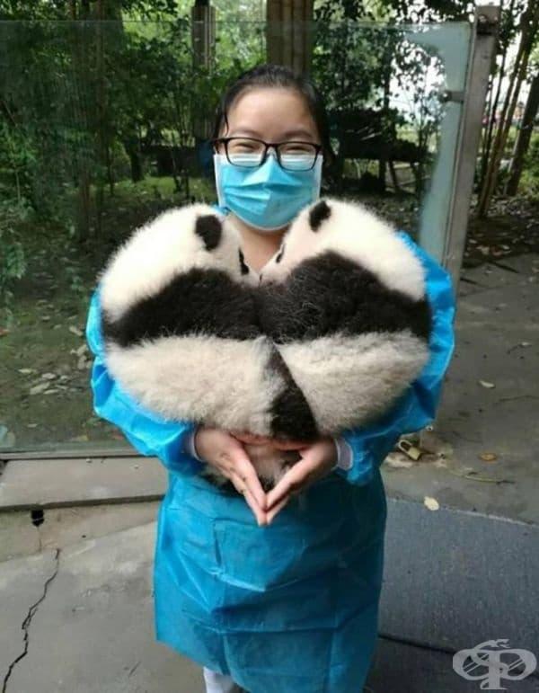 Сърце от панди.