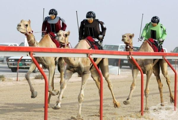 Развлеченията тук също са екзотични. Например, състезание с камили, яздени от роботизирани жокеи.
